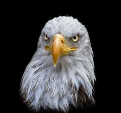 Bald eagle by Sylvie S: Fine Art Photography http://alldayphotography.com