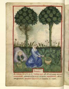 Nouvelle acquisition latine 1673, fol. 21v, Récolte de la roquette. Tacuinum sanitatis, Milano or Pavie (Italy), 1390-1400.
