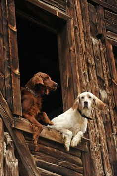 Setters looking out a barn window √
