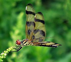 Halloween Pennant Dragonfly South Florida photo by @BeehiveBlog