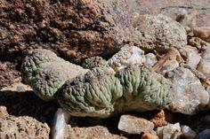 Trichocaulon cactiforme cristata (mostruosa)