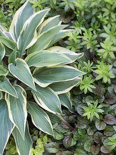 49 best hosta images hosta plants garden plants shade plants rh pinterest com
