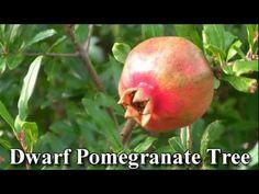 Dwarf Pomegranate Tree http://www.tytyga.com/Dwarf-Pomegranate-p/dwarf-pomegranate-tree.htm