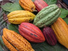 Theobroma Cacao-Photo from The Chocolate Lady taken in the West Indies!
