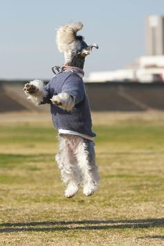 There's nothing Schnauzers can't do. They are people after all. ;) Miniature Schnauzer by With Clair & Sarah