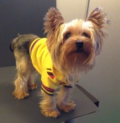 """Guest model Meeko a Yorkie looks extra cute in this Fetch """"Lux Hoodie"""" $19.99 at www.fetchdogfashions.com #puppy #dog #dogclothing #dogapparel #dogboutique #dogcouture #petboutique #yorkie #yorkshireterrier #doghoodie #cute #cutedog"""