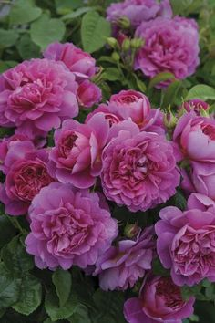 Rosa English Rose (Princess Anne)