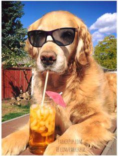 Golden Retriever Dog Breed Information Baby Animals, Funny Animals, Cute Animals, Cute Dogs And Puppies, I Love Dogs, Doggies, Happy Week End, Bulldog Breeds, Retriever Puppy