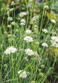 Plants for late summer - Scabiosa columbaria subsp. ochroleuca