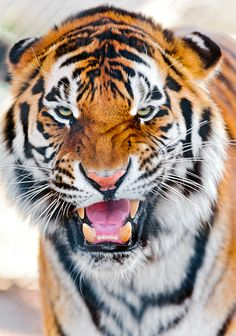 """ The tiger still hasn't calmed down! (by Tambako the Jaguar) "" Most Beautiful Animals, Beautiful Cats, Beautiful Creatures, Aigle Animal, Animals And Pets, Cute Animals, Wild Animals, Baby Animals, Gato Grande"