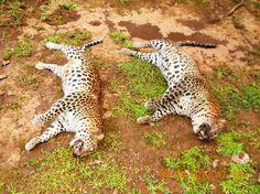 Two Leopards Found Dead, Poison Suspected in Kundapur, Karnataka