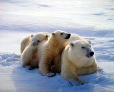 Perfect! Bring a cheer of nature into your home with this Polar Bear Family In Snow art print poster. This poster captures the image of Polar bear family, mother polar bear with her cubs sitting together in a snow field is surely catch every eyes towards it and add charm to any space. It will be a great addition to any space especially for any wild animal lover. This poster goes with all kind of décor style and Ensures high quality product with wonderful color accuracy.
