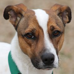 Hello, everyone! Zeus here. I may look a little familiar. I was at rescue a couple of years ago after being picked up as a stray. It took awhile to find me a new home, but we inevitably did. I am now on round two and ready to do this thing again. I'm not a Jack, but I'm a Terrier mix and would be good for someone looking for a bigger boy or brother. I'm around 3 years old, UTD on shots, heart worm negative. I enjoy playing frisbee and running. #jackrussell #terrier #mix