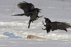 AGAMI-Common-Raven-fighting-Finland-2005-Jari-Peltomäki-001-1kterec.jpg (600×399)