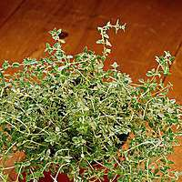 Plant this small, shrubby, culinary Thyme near the herb garden edge for easy harvesting, or in containers with other herbs, such as chives. Popular in rock gardens and bordering walks.