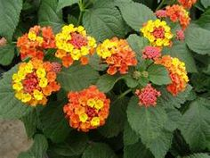 Lantana-one of my favorites-great for hot dry areas-a true heat lover