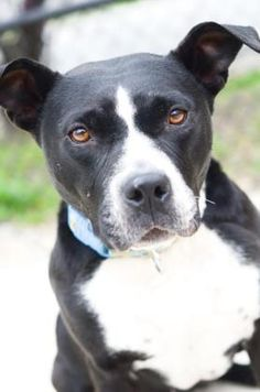 Petango.com – Meet Jo Jo Ridgebottom, a 6 years 7 months Boxer / Retriever available for adoption in INDIANAPOLIS, IN