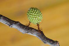 Wallpaper Cooperation Ants
