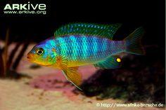 Cichlid (Maylandia aurora)