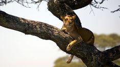 Safari i Tanzania The Great Migration, Tanzania Safari, African Safari, Animals Beautiful, Pictures, Cutest Animals, Photos, Grimm