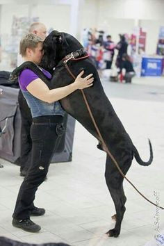 Now that's a Large amount of #Great #Dane #love...#dogs with #man