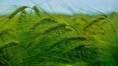 Zielone, Zboże Vineyard, Herbs, Outdoor, Outdoors, Vine Yard, Herb, Vineyard Vines, Outdoor Games, The Great Outdoors