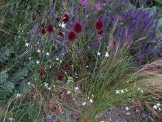 Allium Drumstick, Graslilien, Lavendel