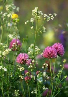 Wild Flowers: The Meadow ~ - Flowers.tn - Leading Flowers Magazine, Daily Beautiful flowers for all occasions Meadow Flowers, Wild Flowers, Beautiful Flowers, Field Of Flowers, Wild Flower Meadow, Paper Flowers, Clover Field, Clover 3, Garden Inspiration