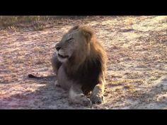 Powerful Roar of a Magnificent Male lion  (Majingelane male)