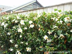 Camelia White (Cs) About Garden Design - Camellia sasanqua 'Setsugekka' Camellia Tree, White Camellia, Landscape Design, Garden Design, London Garden, Plant Guide, Outdoor Landscaping, Landscaping Ideas, Backyard Ideas