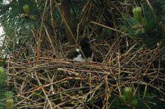 Jonge ekster in nest.