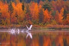 Autumn colors and a swan, Finnish Lapland. Landscape Photography, Nature Photography, Lapland Finland, Tourist Office, Weather And Climate, Autumn Scenery, Thailand Travel, Croatia Travel, Bangkok Thailand