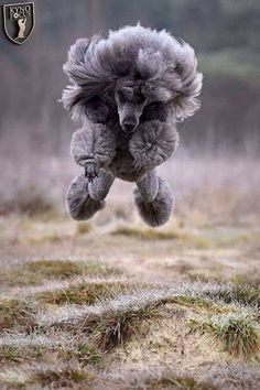 Flying Poodle. will have a 4 point landing also