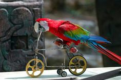 R Aww Beautiful Parrot Riding A Bicycle