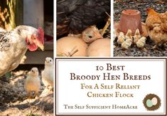 The Homestead Blog Hop 348   An Off Grid Life Chicken Coup, Chicken Feed, Off Grid House, Laying Hens, Egg Incubator, Broody, Meat Chickens, Summer Activities For Kids, Flocking