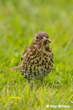Song Thrush, Beautiful Birds, Habitats, Seasons, Songs, Gallery, Animals, Animales, Roof Rack