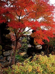 Acer palmatum 'Seiryu' in fall.  Also known as Blue green Dragon.