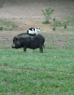Kitty on a pig.