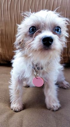 Mindy is an adoptable Maltese searching for a forever family near Peyton, CO…