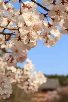 Sakura #japan #kyoto