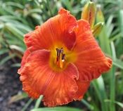Daylily GLOWING REPORT (Joiner-R.) Day Lilies, Glow, Lily, Gardening, Flowers, Plants, Beautiful, Lawn And Garden, Orchids