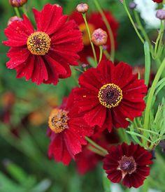 "Coreopsis tinctoria 'Mahogany' ""Calliopsis"" - annual, self-sows? New April 2013 Flax Flowers, Fresh Flowers, Wild Flowers, Beautiful Flowers, Desert Rose, Desert Flowers, Cranesbill Geranium, Flannel Flower, Mock Orange"