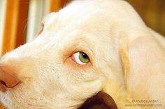 Spinone Italiano Puppy...Hello!   via Tumblr spinone italiano -  #puppy training -  puppies