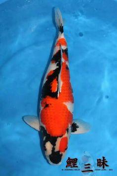 Showa Koi, Common Carp, Carpe Koi, Japanese Koi, Koi Carp, Goldfish, Animals, Coy Fish, Animaux