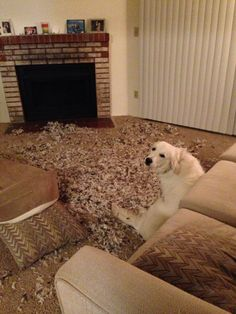 """Not sure what happened mom"" English Cream Retriever"