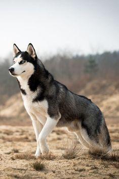 Husky in der Natur. Husky in der Natur. Beautiful Dogs, Animals Beautiful, Cute Animals, Cute Puppies, Cute Dogs, Dogs And Puppies, Doggies, Funny Dogs, Huskies Puppies