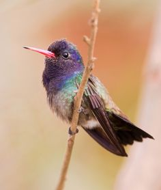 Foto beija-flor-roxo (Hylocharis cyanus) por João Sérgio Barros | Wiki Aves - A Enciclopédia das Aves do Brasil