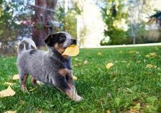Some Helpful Ideas For Training Your Dog. Loving your dog does not mean you are willing to let him go hog wild on your possessions. That said, your dog doesn't feel the same way. Dogs Eating Grass, Dog Eating, Puppy Toilet Training, Fall Lawn Care, Puppy Images, Brown Puppies, National Puppy Day, Easiest Dogs To Train, Dog Training