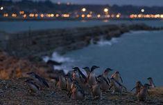 Penguins at Oamaru, NZ