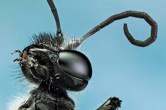 Guepe noire 2 by megasharkodon